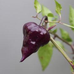The Purple UFO is a rare beautiful chilli plant. Chilli Seeds, Pepper Seeds, Purple Pepper, Hot Pepper Recipes, Chilli Plant, Purple Plants, Hottest Chili Pepper, Fruit And Veg, Stuffed Hot Peppers