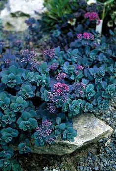 Sedum telephium 'Sunset Cloud' | so many great colors in this stonecrop. contrasts with yellows, chartreuse or pale sage greens. plants with a dark purple or powdery blue tinge really play well with this too.