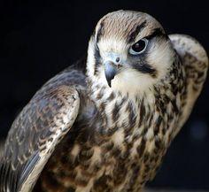 One of the birds of prey at the Suffolk Owl Sanctuary, Stonham Barns, Stonham Aspal, Suffolk, UK Owl Sanctuary, Animals And Pets, Funny Animals, Funny Birds, Three Little Birds, Peregrine Falcon, Crazy Bird, Birds Of Prey, Illustrations