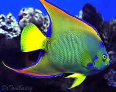 queen angel fish | Here's a magnificent Queen Angelfish, that's lived in a large aquarium ...
