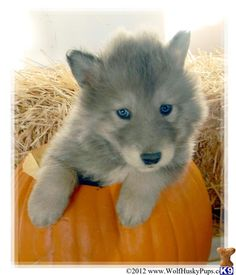 Wolf husky hybrid. Beautiful smoky color.