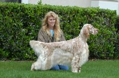 "Amateur Field Champion , Show Champion Set'r Ridge's Everlasting Master Hunter OFA Excellent ""Sahara"" Eukanuba Bred By Group winner, BOS National , BOS Westminster, Best In Specialty winner and an amazing Hunting Dog. Sahara is an all around English Setter and the best House dog ever and Hunting Partner. English Setter Hunting dog, English Setter Show Dog, English Setter Field Trial , English Setter Pet and friend www.englishsetter.com photo by LEE"