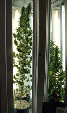 Example of a flowering cannabis plant in a Phototron (grow light with lights along the sides) - Notice how the top buds get the biggest even though the plant is getting the same amount of light from top to bottom
