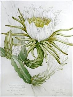 Mary Grierson, my Great Aunt sadly died this year but she was a stunning botanical artist
