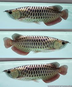 Aquaponics For Home Tropical Freshwater Fish, Freshwater Aquarium Fish, Beautiful Tropical Fish, Beautiful Fish, Aquariums, Betta Fish Types, Dragon Fish, Fish Care, Exotic Fish