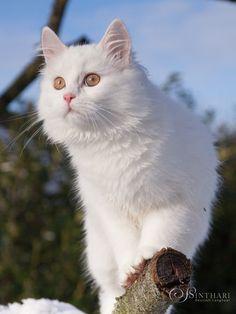 21c3bc0aae1fb4 Deutsch Langhaarkätzchen Alida. Long Haired CatsLots Of CatsBeautiful CatsAnimals  BeautifulMaine Coon CatsWhite ...