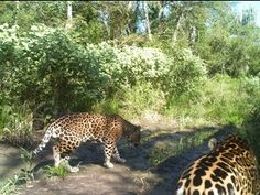 Chaco Paraguayo URL: http://www.wcsparaguay.org/Portals/144/News/n2_Using%20camera%20traps%20for%20big%20cats_2.jpg