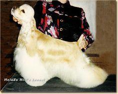 American Cocker Spaniel ~ Classic Cocker Look & Trim Domino Moonlight Show