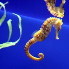 seahorse... | Flickr - Photo Sharing!