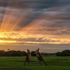 Male kangaroos fighting at Sunset in Narawntapu National Park. Located on Tasmania's central north coast the park oasts a rich array of easily observed animals that come out in the evening to graze on the grasslands, including Forester kangaroos, Bennetts wallabies and wombats. #kangaroos #sunset #nationalpark #tasmania #discovertasmania Image Credit: Matt Glastonbury North Coast, West Coast, Wombat, Kangaroos, Tasmania, Travel Around, National Parks, Wildlife, Aussies