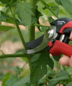 How to prune tomato plants! Makes a big difference in their strength, growth, & production!  Suckers form in the axils between the leaves and the main stem. Encourage a strong main stem by removing all suckers below the first flower cluster.