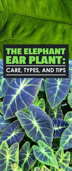 The elephant ear plant has a long and storied history and is a great garden addition. Learn elephant ear plant care, types, and complete growing tips. 464152305345326620 The elephant ear plant has a long and storied history and is Patio Plants, Landscaping Plants, Outdoor Plants, Garden Plants, House Plants, Outdoor Areas, Shade Garden, Potted Plants, House Plant Care