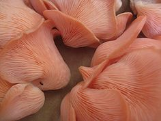 Pink Oyster Mushrooms  by Plant Design Online