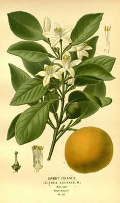 New item in my etsy shopSweet Orange Victorian botanical print illustration reproduction print by PanchromaticaDesigns. Find it here http://ift.tt/1TXwPJk