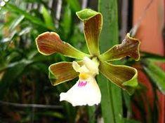 Resultado de imagem para orquidea encyclia randii