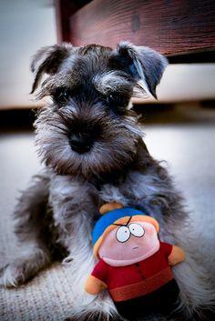 Mini Schnauzer puppy adorable🐾🐾