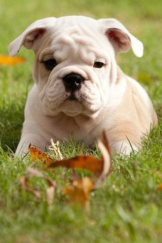 O ya! Did I mention how much I LOVE bulldogs!!???