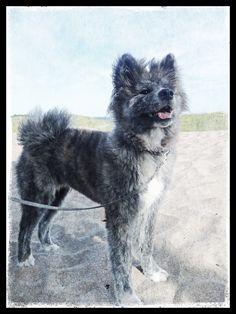 Haru at the beach - Long Coat Brindle Akita Inu Akita Inu Puppy, Akita Puppies, Shiba Inu, Loyal Dog Breeds, Loyal Dogs, Japanese Akita, Bear Hunting, American Akita, Hachiko