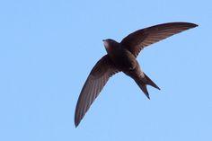 Common birds of prey of nevada territory Swift Bird, Agile, Common Birds, Animal Facts, Mundo Animal, Birds Of Prey, Animals Of The World, Fauna, Bird Species