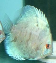Blue Marble Discus Fish