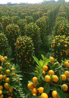 fields of citrus fruit in occupied Palestine Fruit Plants, Fruit Garden, Fruit Trees, Vegetable Garden, Garden Plants, Beautiful Fruits, Beautiful Gardens, Fruit Bearing Trees, Growing Tomatoes In Containers