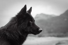 Alaskan Noble Companion Dog: This handsome breed was created primarily by crossing Siberian Husky German Shepherd and Alaskan Malamute stock. But some of its desirable traits were acquired by adding Husky Puppy, Husky Mix, Pomeranian Puppy, Beautiful Dogs, Animals Beautiful, Siberian Husky Funny, Siberian Huskies, Greyhound Breed, Canis Lupus