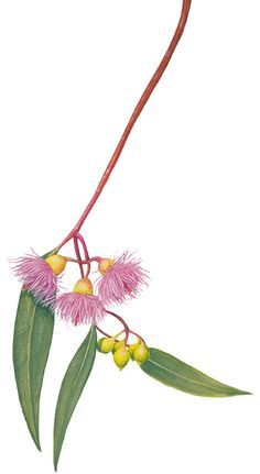 Eucalyptus sideroxylon or Black ironbark, Red ironbark, Mugga Ironbark, Mugga known more locally is not good for pollen but has medium to high nectar in Austalia. An illustrated guide to Australia's gum blossoms - Australian Geographic Australian Wildflowers, Australian Native Flowers, Australian Plants, Australian Animals, Illustration Blume, Botanical Illustration, Botanical Flowers, Botanical Prints, Art Floral