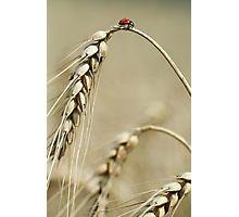 Ladybird on the top of Grain Fotodruck