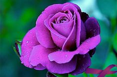 Purple Roses | Purple Rose Pictures