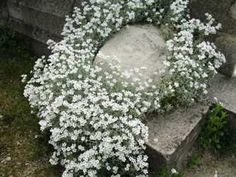snow in summer  thrives in poor soil, full sun, drought tolerant (in fact, watering too often will cause root rot)