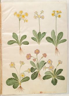 "Oxlips ""OBERON: I pray thee, give it me. I know a bank where the wild thyme blows, Where oxlips and the nodding violet grows,"" Plant Illustration, Botanical Illustration, Retro Flowers, Vintage Flowers, Natural Curiosities, Primroses, Botanical Prints, Natural History, Vintage Illustrations"