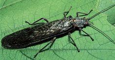 Plecoptera | Stonefly (Plecoptera) ; Image ONLY