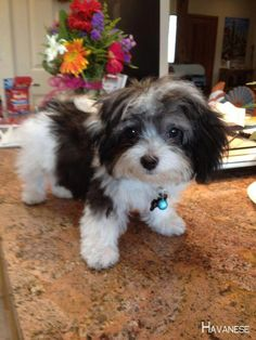 All About The Smart Havanese Dogs And Kids Havanese Haircuts, Havanese Grooming, Havanese Puppies, Cute Puppies, Dogs And Kids, Little Dogs, I Love Dogs, Animals And Pets, Baby Animals