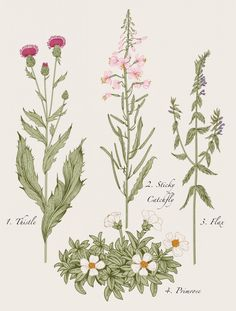 Botanical Illustrations of herbs and wildflowers. Call to request custom size. Prints ship within 1 week. Main Colors: Tan, Green. Photographer: Stephen Scott