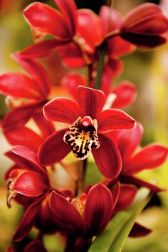 Red Orchid Flowers Canvas Print / Canvas Art by Dan Pfeffer Red Orchids, Types Of Orchids, Phalaenopsis Orchid, Orchid Plants, Orchid Flowers, Most Beautiful Flowers, Exotic Flowers, Love Flowers, Orchidaceae
