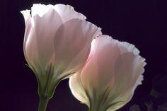 tumbl macro | Pink Flower | by mcarxhoek | http://ift.tt/1rMnKlu