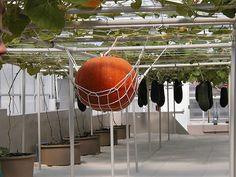 Aeroponic Pumpkin