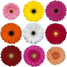 Fresh dark pink Mini Gerbera Daisies are known for their nearly flawless blooms. These assorted bold flowers are sure to add a splash of color to any wedding bo Mini Gerbera, Gerbera Flower, Daisy Wedding, Wedding Bouquets, Wedding Flowers, Gerbera Wedding, Daisy Centerpieces, Amazon Flowers, Daisy Image