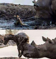 Rhino helping baby zebra