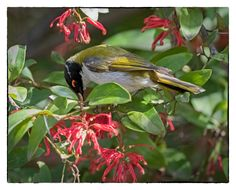 White-naped Honeyeater - ANBG, ACT