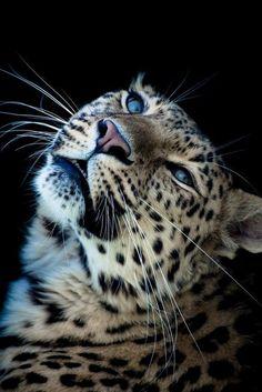 Snow Leopard. Wonderful blue eyes!