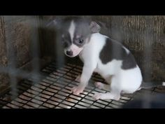 One of the most amazing rescues I've ever seen! 525 Dogs saved from puppy mill.~Adopters lined up for blocks! Rescued Puppy Mill Dogs Get a Second Chance - YouTube
