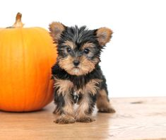 Puppies For Sale, Yorkie Puppy For Sale, Yorkshire Terrier Puppies, Animals Dog, Small Dog Breeds, Small Dogs, Mans Best Friend, Puppy Love, Lancaster Puppies