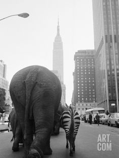 Circus Animals on 33rd Street Photographic Print by Bettmann at Art.com #circus #vintagecircus