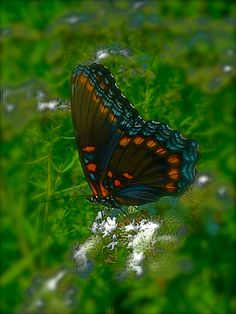 Red-Spotted Purple by Tiwago