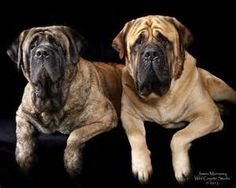 English Mastiff - Bing Images
