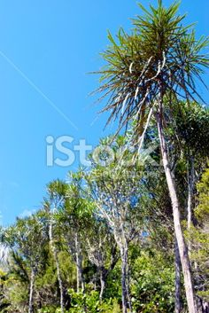 Lancewood (Horoeka) Tree Royalty Free Stock Photo