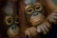 Help ensure the future of the Orangutan for generations to come. Sponsor an orphan today. https://secure.opf.org/adoption.php