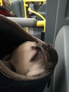 French Bulldog, Cute, French Bulldog Shedding, Kawaii, Bulldog Frances, Bulldog French, French Bulldogs