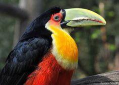 Aves brasileiras / Tucano-de-bico-verde (Ramphastos dicolorus) ©Germano Schüür